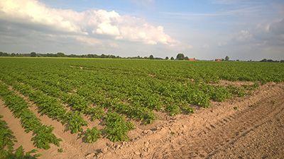 Kartoffelpflanzen 400x225px | Kartoffel Winte