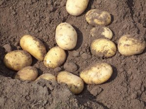 Kartoffeln in der Erde 1080x810px | Kartoffel Winte