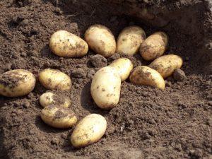 Kartoffeln im Boden vor der Ernte   Kartoffel Winte